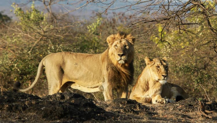 Asiatic lion in Gir National Park