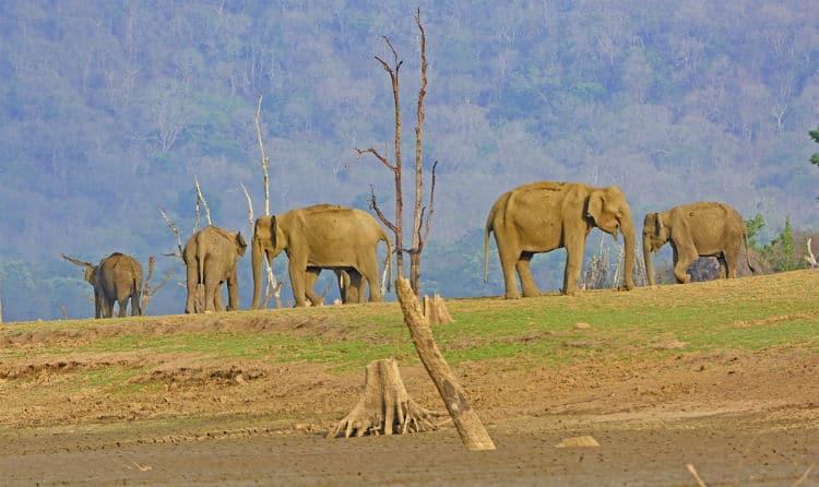 Elephants in Kabini National Park