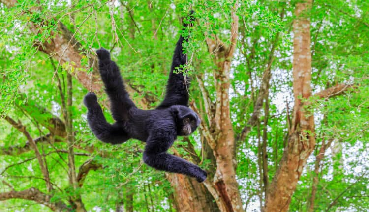 Spider monkey in Belize